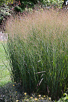 Panicum virgatum 'Heavy Metal' aka 'Heiliger Hain' ornamental grass with Coreopsis 'Autumn Blush' at base