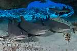 Fakarava Atoll, Tuamotu Archipelago, French Polynesia; several whitetip reef sharks resting in an underwater cavern during the day