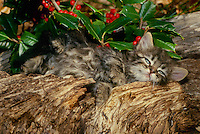 Cute black and white kitten stretches out in garden by American holly bush with bright red berries, Midwest USA