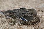 A pair of older mallard ducklings sleeps together in Constution Gardens.<br /> <br /> Mallard (Anas platyrhynchos) -- Constitution Gardens, Washington, DC