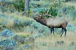 Bull Elk Bugling at Dawn, Lower Mammoth, Yellowstone National Park, Wyoming