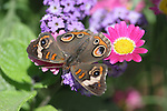 Common buckeye butterfly, Junonia coenia