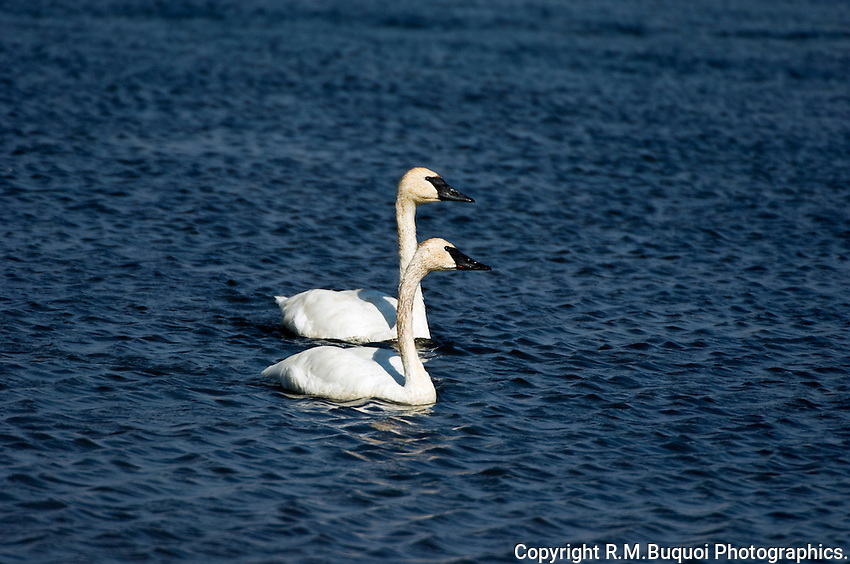 Pair of Trumpeter Swans, Jackson Hole, Wyoming
