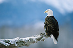 Bald eagle perched on a log, Chilkat River, Alaska