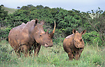 White rhino with young, Ceratotherium simum, Ithala game reserve, Kwazulu Natal, South Africa