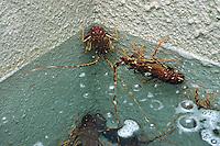Allevamento. Breeding.Aragosta. Lobster.....