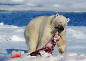 Polar bear (Ursus maritimus) with fresh seal kill on ice, Spitsbergen,  Svalbard