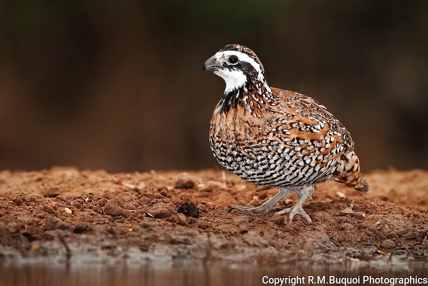 Male Bob-white Quail at water's edge.