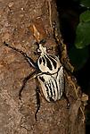 Goliath Beetle, Goliathus orientalis, found in The Congos and Tanzania