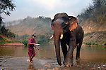 A mahout about to douse water over his Asian elephant (elephas maximus)during it's morning bath at Pak Lai, Laos.