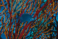 Damselfish in a sea fan, Sangalaki, Kalimantan, Indonesia.