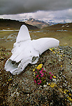 Dall sheep skull, Wrangell-St. Elias National Park, Alaska