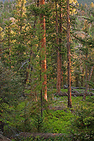 Red spruce trees along the trail to Fern Lake during early morning light. Fern Lake Trailhead, Rocky Mountain National Park, Colorado.