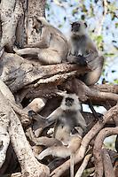 Indian Langur monkeys, Presbytis entellus, in Banyan Tree in Ranthambhore National Park, Rajasthan, Northern India