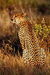 Cheetah, Samburu National Reserve, Kenya
