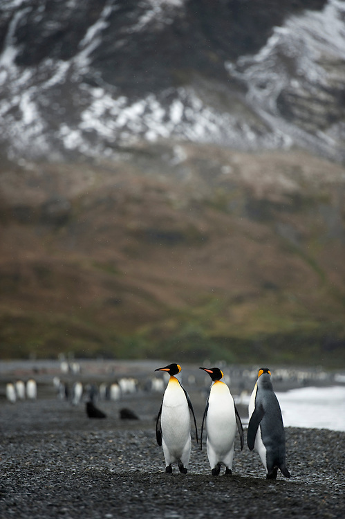 King penguins (Aptenodytes patagonicus) on the beach at Fortuna Bay, South Georgia