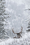 large mature muledeer buck bedded deep snow, winter, rut fir forest background