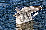 Floating Gull 4, Upper Newport Bay, CA