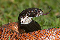Shield-nose Cobra head with tongue extended (Aspidelaps scutatus), South Africa