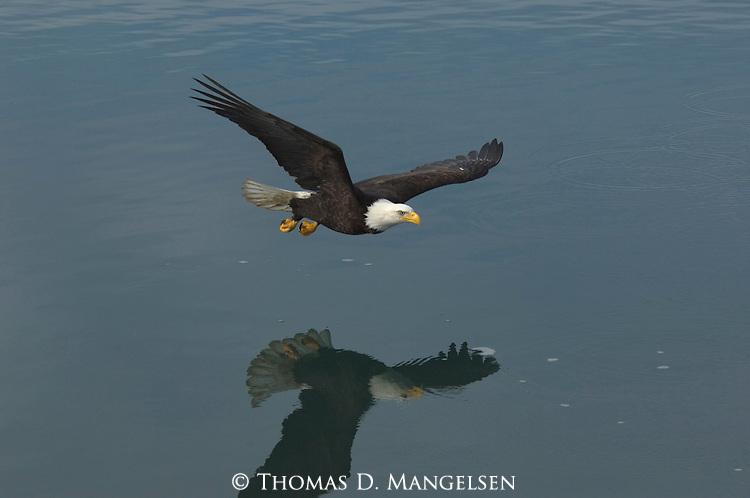 A bald eagle soars over water in Homer, Alaska.