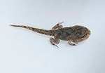 Tadpole of black-spined toad, Duttaphrynus melanostictus, with four legs.  Dili District, Timor-Leste (East Timor).