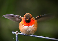 A male Rufous Hummingbird is showing off its mating colors during Spring with wings spread looking straight at viewer.