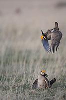 Lesser Prairie-Chicken, Tympanuchus pallidicinctus, males fighting, Canadian, Panhandle, Texas, USA