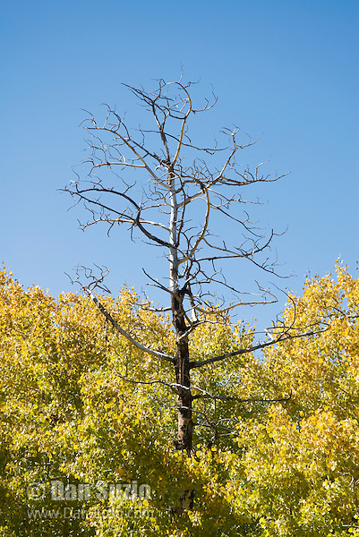 Quaking aspen, Populus tremuloides. Scotts Lake, Sierra Nevada Mountains, California