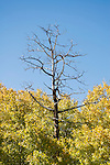 Quaking aspen, Populus tremuloides. Scotts Lake, Sierra Nevada Mountains, California