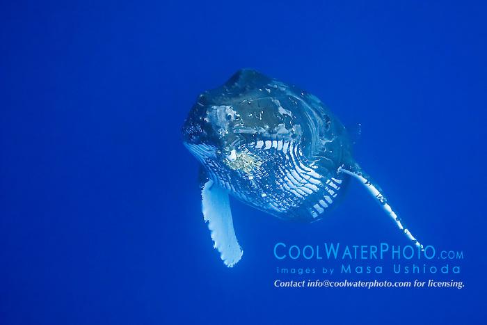 Humpback Whale, Megaptera novaeangliae, Hawaii, Pacific Ocean.