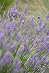 A lone black and yellow bumblebee crawls on a blooming stalk of purple lavender in this shallow-focus detail shot that fills the frame with sharp focused and out of focus stalks of lavender.