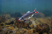 Fieryblack Shiner<br />
