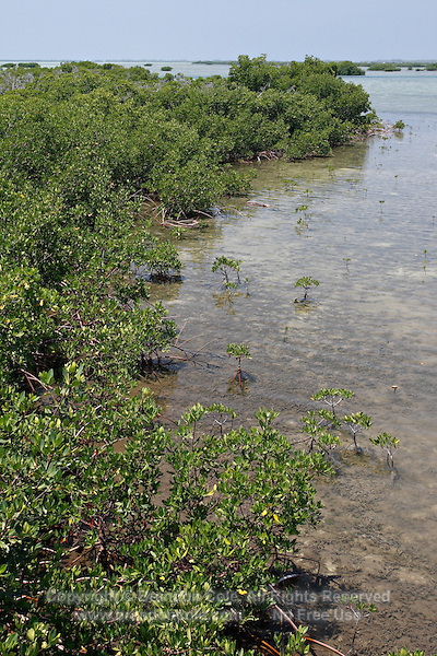 qa70670-D. Red Mangroves (Rhizophora mangle). Bahamas, Atlantic Ocean. .Photo Copyright © Brandon Cole. All rights reserved worldwide.  www.brandoncole.com..This photo is NOT free. It is NOT in the public domain. This photo is a Copyrighted Work, registered with the US Copyright Office. .Rights to reproduction of photograph granted only upon payment in full of agreed upon licensing fee. Any use of this photo prior to such payment is an infringement of copyright and punishable by fines up to  $150,000 USD...Brandon Cole.MARINE PHOTOGRAPHY.http://www.brandoncole.com.email: brandoncole@msn.com.4917 N. Boeing Rd..Spokane Valley, WA  99206  USA.tel: 509-535-3489