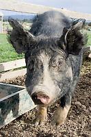 Berkshire pig at Gulf Station, Yarra Glen