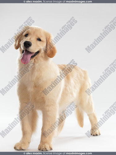 Portrait of a Golden Retriever 4 month old female puppy isolated on white background