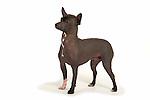 Xoloitzcuintle Dog - Mexican hairless dog - standing