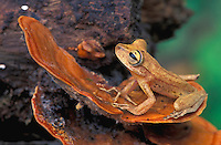 Gunther's Banded Treefrog (Hyla fasciata),  adult perched on  shelf mushroom, Tambopata Candamo Reserve, Peru