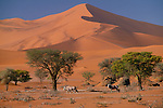 South African oryx or gemsbok (Oryx gazella), Namib-Naukluft National Park, Namibia