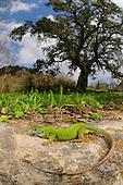 A female Western Green Lizard (Lacerta bilineata) basking in habitat near a Cork Tree, Sicily, Italy.