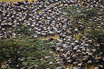 A massive herd of common wildebeests resembles a plague of locusts as they head across the gently rolling hills above the Mara River, I took this photograph from an adjacent ridge slightly above the moving herd.