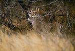 White-tailed deer, Choke Canyon, Texas
