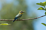 Rainbow Bee-eater (Merops ornatus) perched or landing on its favourite branch high up on a tree.