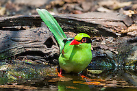 A Green Magpie (Cissa chinensis) bathing at a watering hole, (Kaeng Krachan, Thailand)