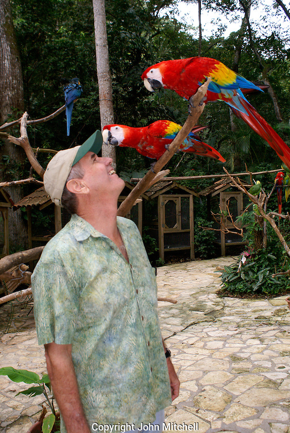 Lloyd Davidson, owner of the Macaw Mountain Bird Park, with a pair of scarlet macaws Ara macao) , Copan, Honduras. The scarlet macaw is an endangered species and the national bird of Honduras.