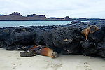 South America, Ecuador, Galapagos Islands. Sea Lions of Sombrero Chino island.