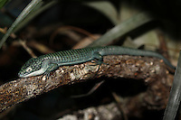 Alligator Lizard (Abronia graminea). Captivity