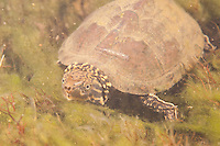 Eastern Musk Turtle, Underwater