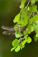 334090001 a wild newly emergent or teneral russet-tipped clubtail dragonfly stylurus plagiatus perches on a leaf stem along the rio grande river near santa ana national wildlife refuge in south texas
