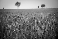 Daytime landscape view of a wheat field next to the Huang He in the Sānménxiá Shì Húbīn District in Hénán Province.  © LAN