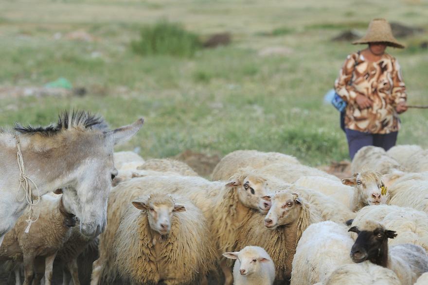 In the flock of sheep. Lake Prespa National Park, Albania June 2009